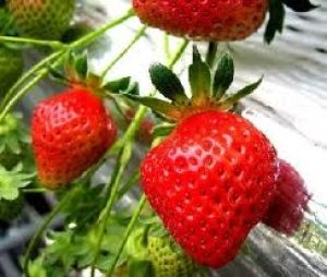 画像5: ストロベリーガーデン 【ロンネフェルト】 かわいいイチゴの甘酸っぱさが香ります