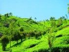 他の写真2: ウバ ハイランド【ロンネフェルト】世界3大銘茶の一つ ウヴァ臭が魅力的です