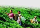 他の写真3: スプリング ダージリン (春摘み)ヌルボング農園 【ロンネフェルト】 やさしく甘く香る春摘ダージリン